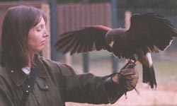 with a Harris hawk
